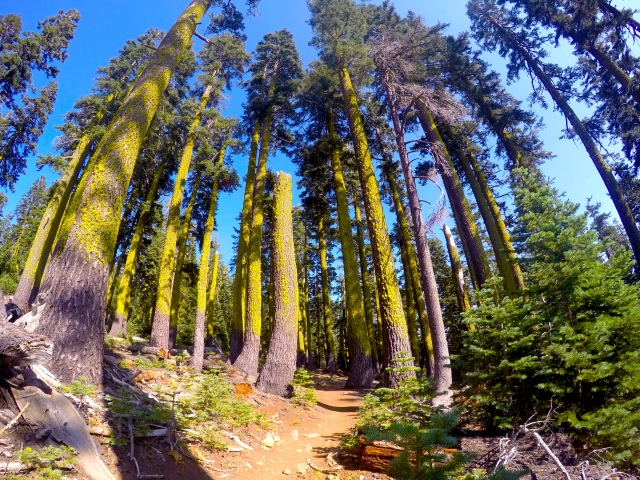 The forest on the way to Ellis Peak is full of beautiful, moss-covered pines.