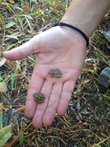 Hundreds of little frogs!