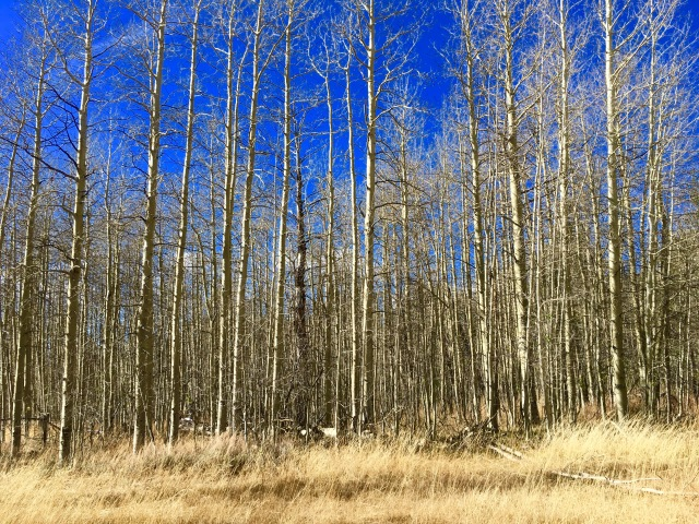Sad Aspens with no more leaves for the year on the way up